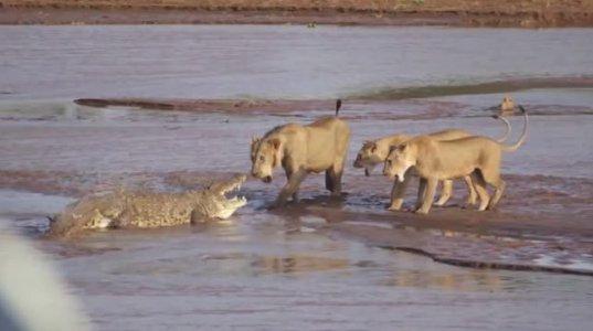 ნიანგი და ლომები სპილოს ლეშის გამო ერთმანეთს დაუპირისპირდნენ(კენია)
