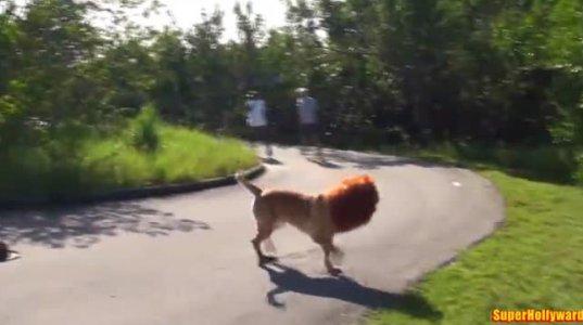 ლომი თავისუფლად დასეირნობს ქალაქის ცენტრში