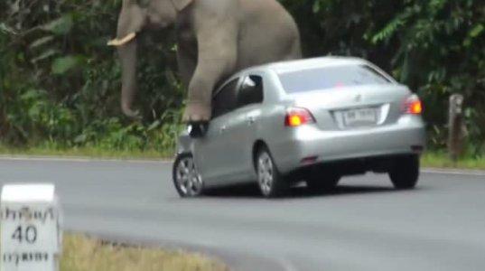 სპილომ რა უქნა მანქანას, ერთი ნახეთ!!!