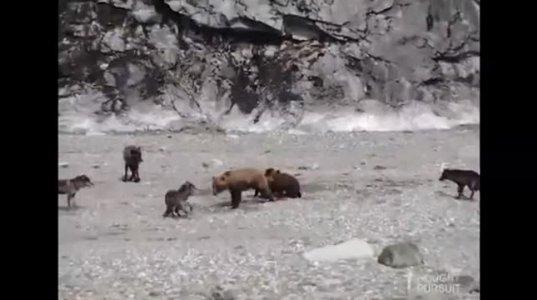 დათვი და 3 ბელი vs  5 მგელი