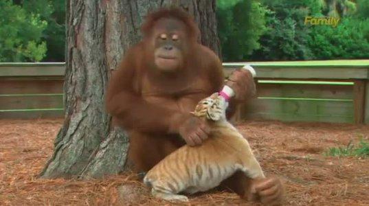 ნახეთ მაიმუნი როგორ უვლის ვეფხვებს