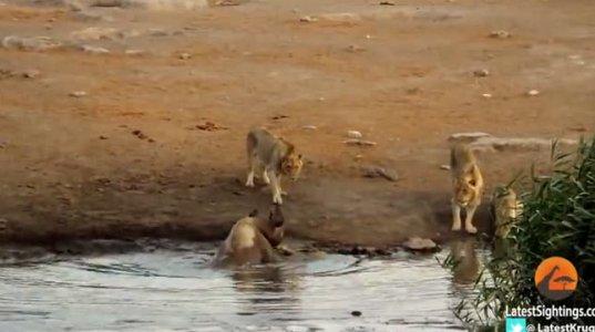 მოხერხებული მარტორქა სამი ლომის წინააღმდეგ