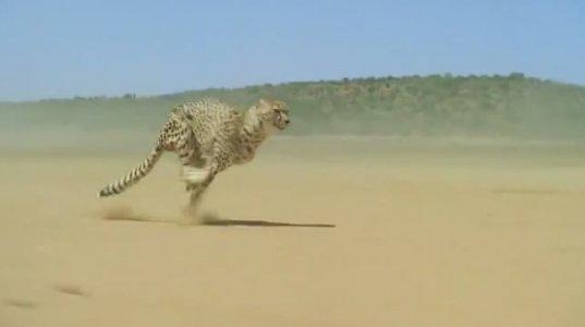 საოცარი სანახავია დედამიწაზე ყველაზე სწრაფი მტაცებელი მოძრაობისას