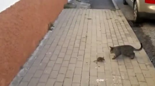 კატა თაგვის წინააღმდეგ