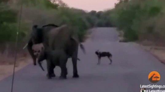 მშიერმა მგლებმა პატარა  სპილოს  შეჭმა  მოინდომეს, მაგრამ დედა  სპილომ განზრახვაჩ