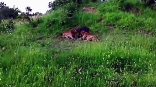 ველური ცხოველების თავდასხმების შემთხვევით გადაღებული საშინელი კადრები