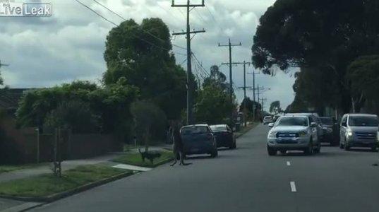 ძაღლი , კენგურუ და ეზოში შემავალი მანქანა(ავსტრალია)
