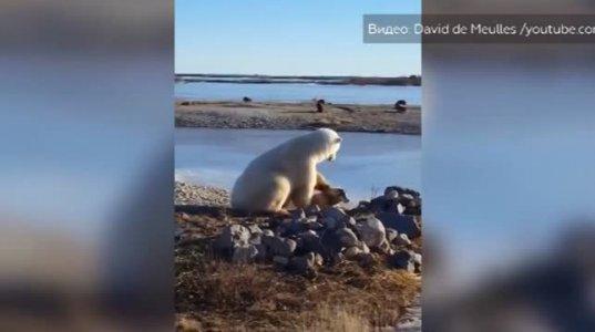 თეთრი დათვი ძაღლს  ეფერება-არაჩვეულებრივი ვიდეო კანადიდან