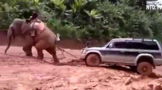 სპილომ ჯიპი დაიბუქსირა და ...